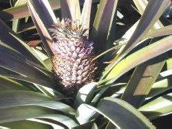 voyage-vietnam-decouverte-degustation-de-fruit-exotique-ananas