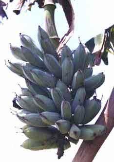 voyage-vietnam-decouverte-degustation-de-fruit-exotique-banane-royale