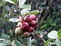 voyage-vietnam-decouverte-degustation-de-fruit-exotique-goyave