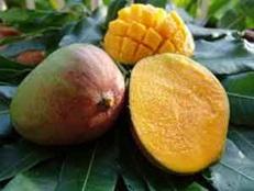 voyage-vietnan-decouverte-degustation-de-fruit-exotique-mangue