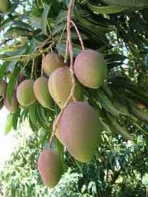 voyage-vietnam-decouverte-degustation-de-fruit-exotique-mangue