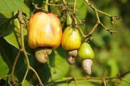 voyage-vietnam-decouverte-degustation-de-fruit-exotique-noix-de-cajou