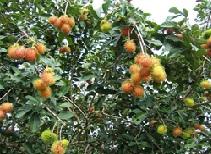 voyage-vietnam-decouverte-degustation-de-fruit-exotique-ramboutan