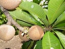 voyage-vietnam-decouverte-degustation-de-fruit-exotique-sapoti