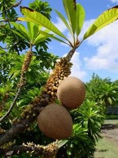 voyage-vietnam-decouverte-degustation-de-fruit-exotique-sapoti-sapotier